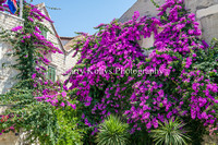 Bougainvilleas in Full Bloom-Split, Croatia